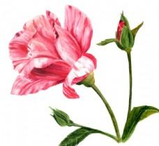 水彩玫瑰花