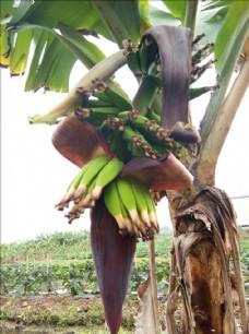 香蕉果 香蕉树