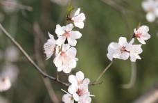 初春山桃花