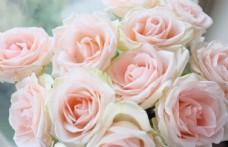 浪漫粉色玫瑰鲜花