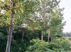 乡间小路 路两旁绿树