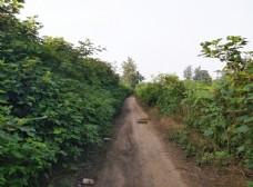 土路两旁的绿树