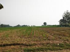 玉米地 麦茬地
