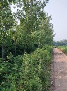 田间土路 路两旁绿树