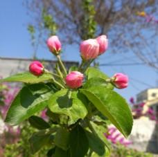 海棠花之花苞