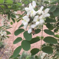 槐花   蜂蜜  高清图